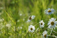 Marguerites blanches dans l'herbe au soleil dans le domaine d'été Images libres de droits