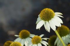 Marguerites blanches de Gerber se fanant pendant l'été Sun Photos libres de droits