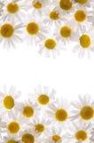 Marguerites blanches de vue et fond blanc Images libres de droits