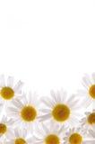 Marguerites blanches et blanc de vue dans la moitié Image stock