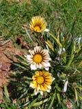 Marguerites blanches et jaunes lumineuses image libre de droits