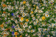 Marguerites blanches et jaunes, Pays de Galles images stock