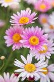 Marguerites blanches et roses Images libres de droits