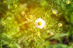 Marguerites blanches légères troubles dans la vue supérieure du pré avec les rayons légers Images stock