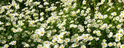 Marguerites blanches panoramiques photos stock