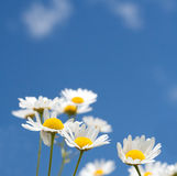 Marguerites blanches sur le ciel bleu Photo stock
