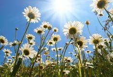 Marguerites blanches sur le ciel bleu Images libres de droits