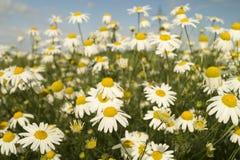 Marguerites blanches sur le ciel bleu de fond photos libres de droits