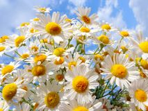 Marguerites blanches sur un fond d'un beau ciel Photo stock