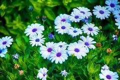 Marguerites bleues photographie stock
