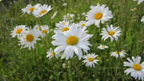 Marguerites bonitos Fotos de Stock