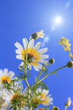 Marguerites, camomille Image stock