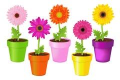 Marguerites colorées dans des bacs. Vecteur Photo stock