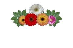 Marguerites colorées de fleurs avec les feuilles vertes de lierre Photographie stock