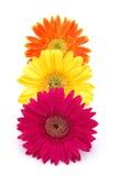 Marguerites colorées de gerber Images libres de droits