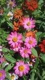 Marguerites colorées en été photo stock