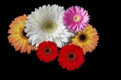 Marguerites colorées de fleurs sur un fond noir Images stock