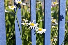 Marguerites contre une barrière en bois bleue Photo stock