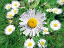 Marguerites d'été s'élevant dans un pré vert Photographie stock libre de droits