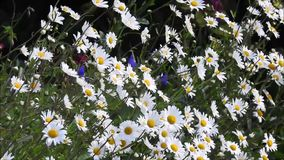 Marguerites d'été soufflant dans le vent de brise douce clips vidéos