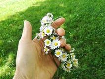 Marguerites dans la main sur l'herbe verte Image libre de droits
