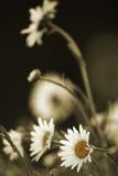 Marguerites dans la sépia photographie stock libre de droits