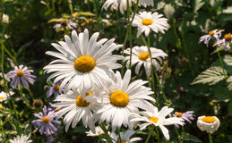 Marguerites dans le jardin photo stock