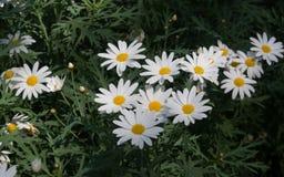 Marguerites dans le jardin Photo libre de droits