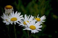 Marguerites dans le jardin au coucher du soleil Image stock