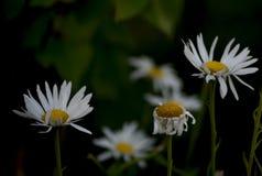 Marguerites dans le jardin au coucher du soleil Photos libres de droits