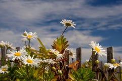 Marguerites dans un jour ensoleillé lumineux contre le ciel Image libre de droits