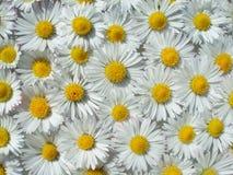 Marguerites de flottement Photo stock