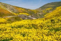 Marguerites de Hillside et wildflowers de fiddleneck avec la route à l'arrière-plan au monument national simple de Carrizo en Cal photo stock