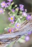 Marguerites de l'Utah sur le bois de flottage Image stock