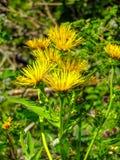 Marguerites de montagne jaunes Image stock