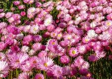 Marguerites de papier éternelles de rose indigène de wildflower d'Australie occidentale Photos stock