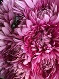 Marguerites de rose chaud Photos stock
