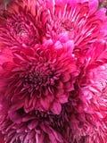 Marguerites de rose chaud Photo stock