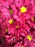 Marguerites de rose chaud Photographie stock