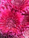 Marguerites de rose chaud Images stock