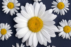 Marguerites de Shasta Photos stock