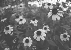 Marguerites de vintage en noir et blanc Image libre de droits
