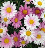 Marguerites des prés de cap d'affichage floral Photo stock