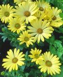 Marguerites des prés de cap de jaune d'affichage floral Photo libre de droits