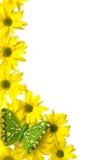 Marguerites des prés jaunes Photos libres de droits