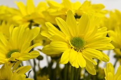 Marguerites des prés jaunes Image libre de droits