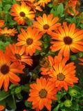 Marguerites des prés oranges de cap d'affichage floral Image libre de droits