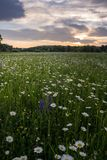 Marguerites des prés sur un pré au printemps au lever de soleil À Bayreuth, l'Allemagne, Wilhelminenaue Images stock