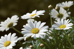 Marguerites. In the early springtime royalty free stock photos