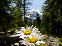 Marguerites en fleur avec le fond de montagnes images stock